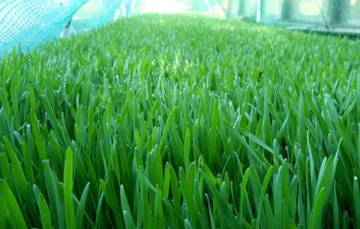 spelt_grass_grown_outdoors-_with_a_deeper_green_color_than_wheat